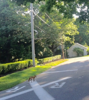 fox in sandwich lillibridge